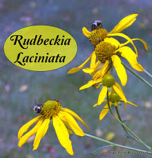 rudbeckia laciniata coneflower late season nectar source
