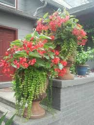 56 begonias images plants flowers flower