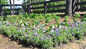 edibles flowers south central gardening edibles and flowers play well together