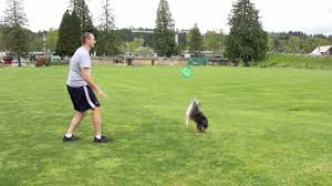 australian shepherd jump height mini aussie shepherd chopper flip u0026 launch training youtube
