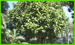list of ornamental trees best of 9 philippine trees better