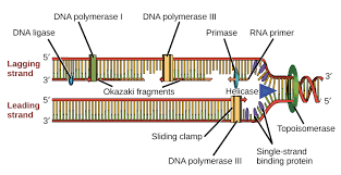 mode of dna replication meselson stahl experiment article