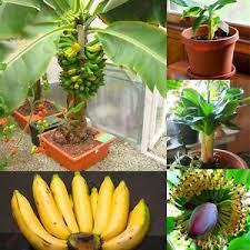 mini banana tree 100 pcs dwarf mini banana tree seeds chic exotic bonsai home