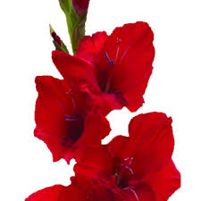 gladiolus flowers flower