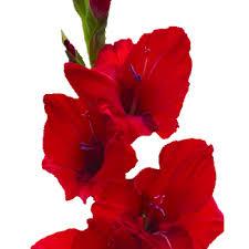 gladiolus flower flower