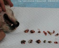 Dog Tooth Anatomy 20080823dental Dog Tartar Biting Family Jack Russell Spitz Tooth