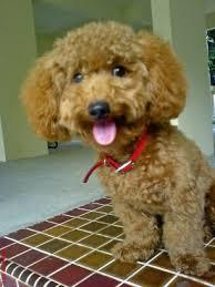 haircutsfordogs poodlemix 296d58558ed6fa6ef9d3574bda600414 jpg 306 408 pixels poodles