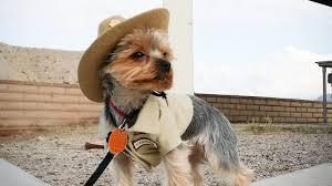 australian shepherd jobs working like a dog see how pups help park rangers in these 12