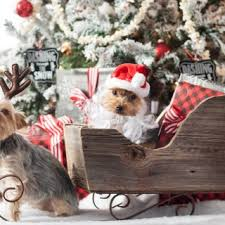 funny and cute family christmas picture ideas with dogs litle pups