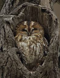 owl in of tree an owl huddled into a in a tree with