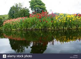 canna lilies a large patch of pink and yellow canna lilies on the edge of