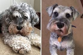 schnauzer hair cut step by step dogs before and after their haircuts