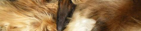 afghan hound puppies california chandhara afghan hounds home