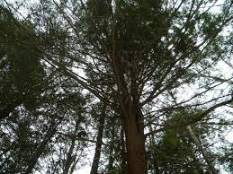 hemlock tree meaning the druid s garden