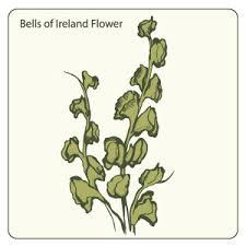 bells of ireland flower bells of ireland flower vector freevectors net