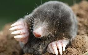 How To Get Rid Of Moles In The Backyard by How To Get Rid Of Moles In Your Garden Telegraph