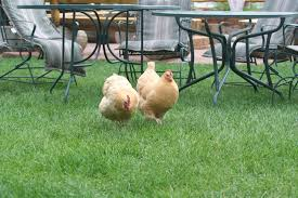 grass for chickens taking a look at the natural health benefit