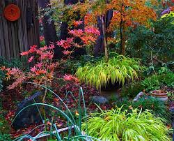 japanese maples set fire to this fall garden fine gardening