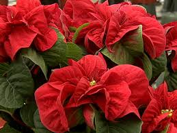 poinsettias variations in a theme hgtv