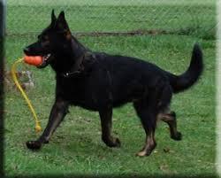 Light Sable German Shepherd Working German Shepherd Dogs Gsd Colors And Markings