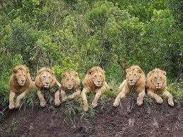 isn u0027t tiger king jungle quora