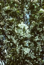 25 beautiful flowering crabapple ideas on flowering