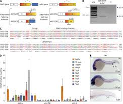 reticular dysgenesis u2013associated ak2 protects hematopoietic stem