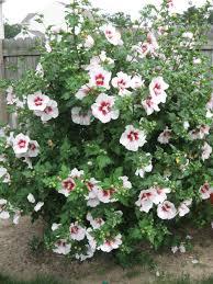 planting rose of sharon