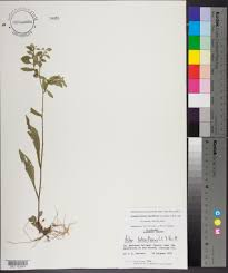 Canopy Synonyms by Symphyotrichum Lateriflorum Species Page Apa Alabama Plant Atlas