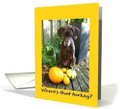 happy thanksgiving german shorthaired pointer pumpkins card