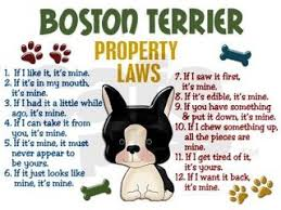 Boston Terrier Meme - northeast boston terrier rescue rules for humans