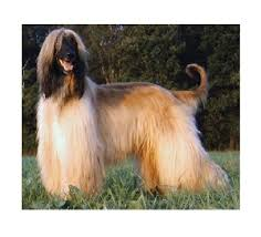 afghan hound grooming styles afghan hound rottweilers puppies studs at saphire rottweiler kennels