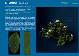Gardenia Delivery Xfrogplants Gardenia Xfrog Com