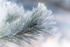 frosted pine tree stock photo image 85546220