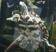 Ringed Map Turtle Graptemys Oculifera Pracht Höckerschildkröte Sawbacks At