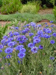 annual cut flower garden layout plants and gardening ideas