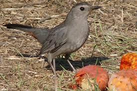 birds that eat fruit apples grapes cherries