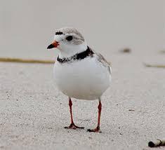 Nj Backyard Birds by Killdeer Identification All About Birds Cornell Lab Of Ornithology