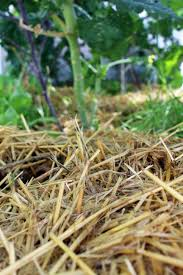 why you should mulch your vegetable garden this summer abundant city