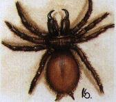 funnelweb spiders at spiderzrule the best site in the world about