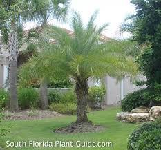 sylvester palm tree price sylvester palm