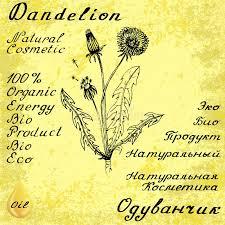 dandelion botanical illustration stock illustration image 74531009