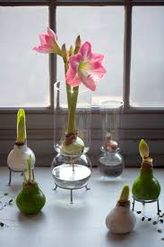 gardenista giveaway waxed amaryllis bulbs for the holidays
