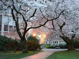 cherry blossom tree 10 places to see cherry blossoms in the u s besides d c