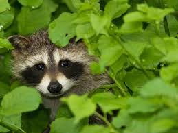 thwarting raccoons in the garden hgtv