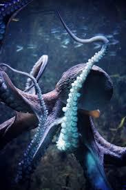 best 25 octopus ideas on pinterest octopus decor octopuses and