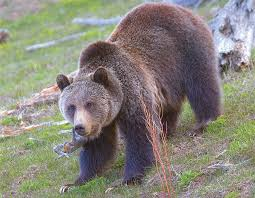 Bears Montana Hunting And Fishing - game and fish busy relocating northwest wyoming grizzlies