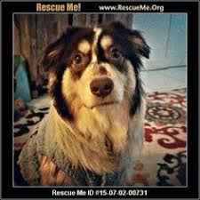 australian shepherd new hampshire new york australian shepherd rescue u2015 adoptions u2015 rescueme org