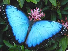 blue morpho butterfly pictures 7 blue morpho butterfly facts