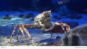 king crab at aquarium ocean dark blue bottom stock video footage